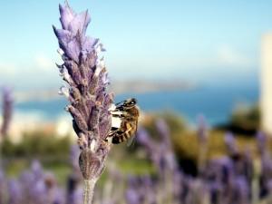 Ejemplar de abeja asesina